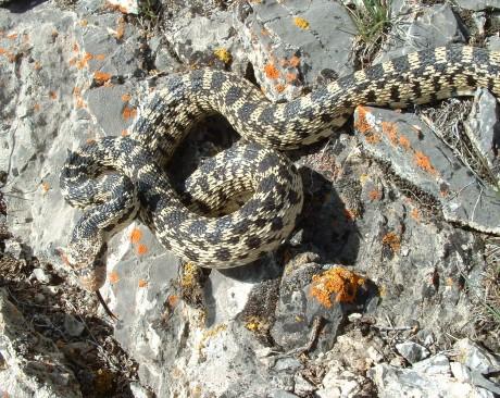 great basin gophersnake, adult female, Onaqui Mtns