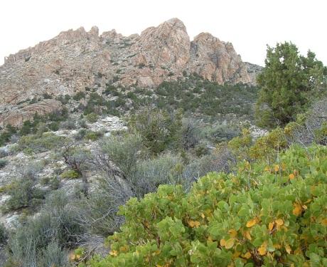early July 2010, manzanita, S Mineral Mtns